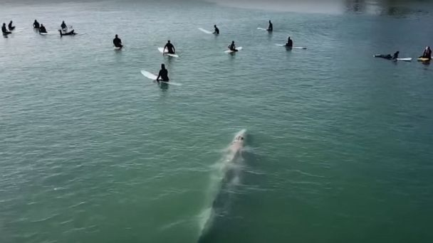 Drone footage captures a whale swimming up to surfers in Dana Point, California