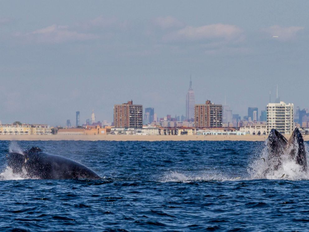 PHOTO: A pair of Humpback whales feeding off New York Citys Rockaway Peninsula with The Empire State Building in the background, Sept. 15, 2014.