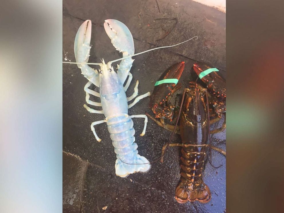 PHOTO: Alex Todd of Chebeague Island, Maine, caught a rare white lobster on Aug. 24, 2017.