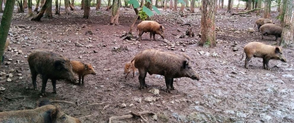 PHOTO: Feral pigs are seen in this undated file image.