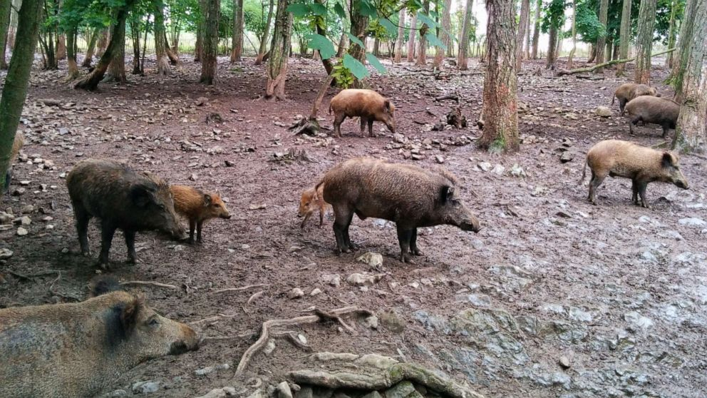 """Flipboard: A Guy Complained He Had """"30-50 Feral Hogs"""" In ..."""