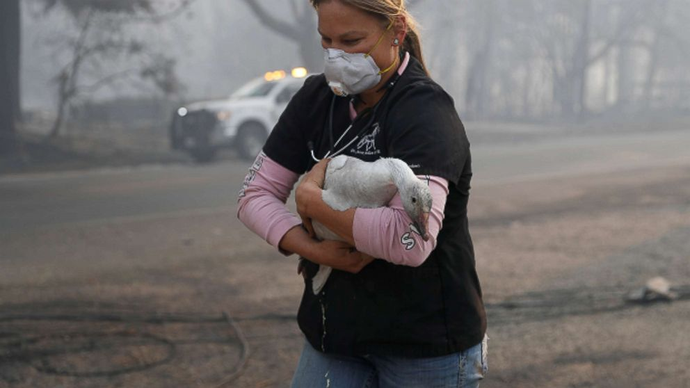 Equine veterinarian Jesse Jellison carries an injured goose to transport during the Camp Fire in Paradise, Calif. Nov. 10, 2018.