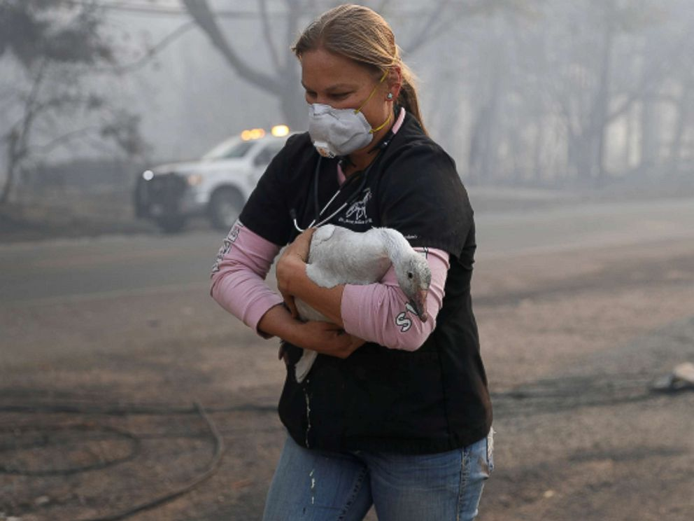 PHOTO: Equine veterinarian Jesse Jellison carries an injured goose to a waiting transport during the Camp Fire in Paradise, Calif. Nov. 10, 2018.