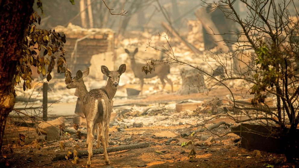 A deer walks past a destroyed home on Orrin Lane after the wildfire burned through Paradise, Calif., Nov. 10, 2018.