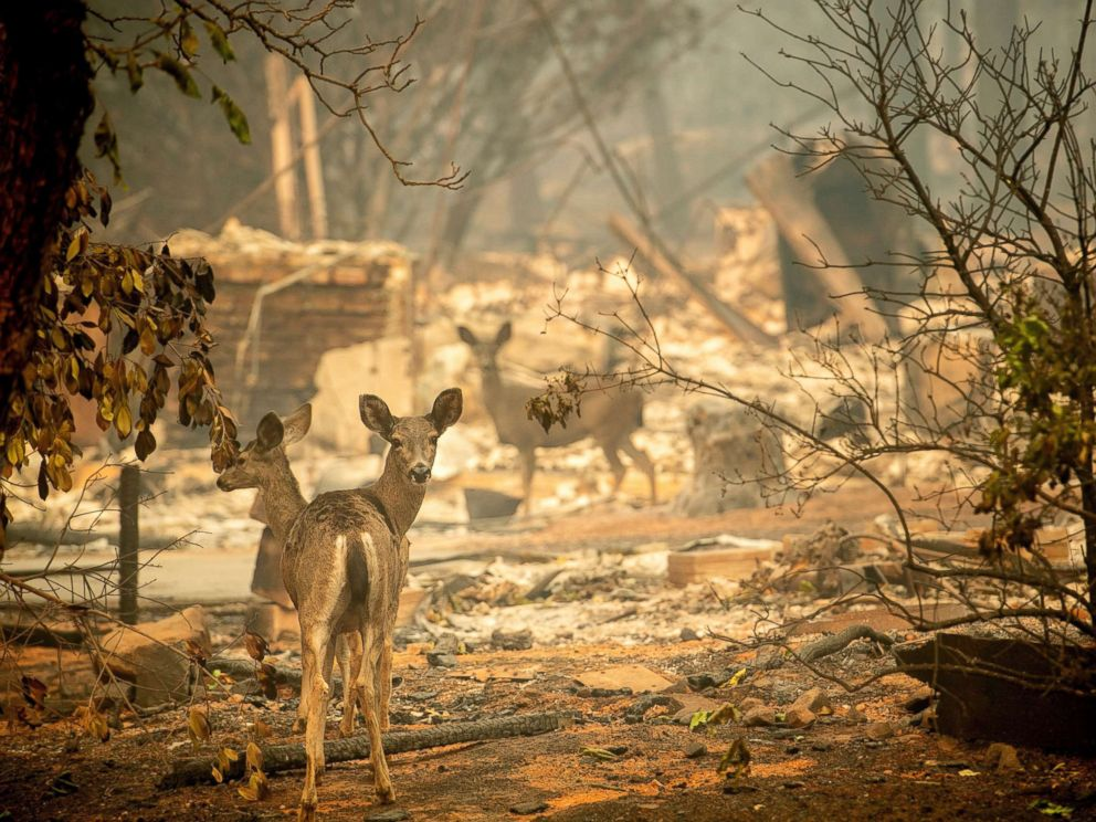 PHOTO: A deer walks past a destroyed home on Orrin Lane after the wildfire burned through Paradise, Calif., Nov. 10, 2018.