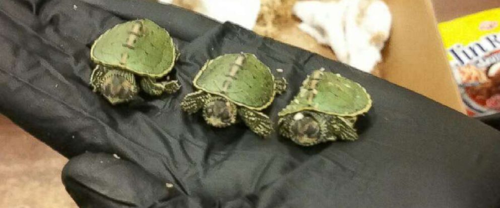 PHOTO: An undated image released by the U.S. Attorneys Office shows Indian roofed turtles seized from accused wildlife smugglers.