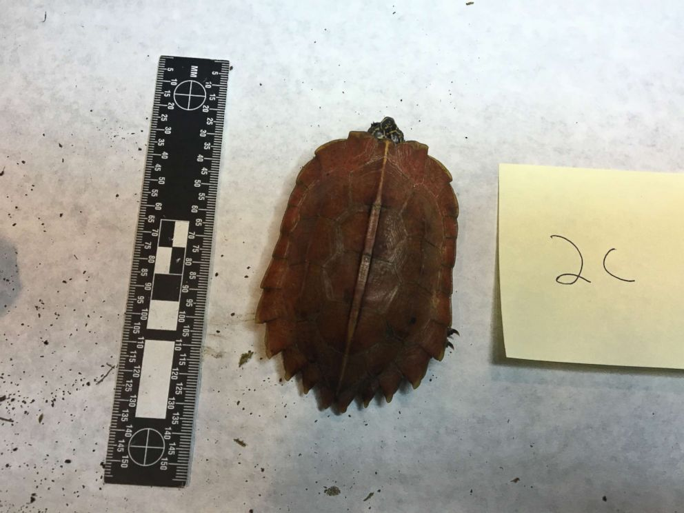 PHOTO: An undated image released by the U.S. Attorneys Office shows a black breasted leaf turtle seized from accused wildlife smugglers.