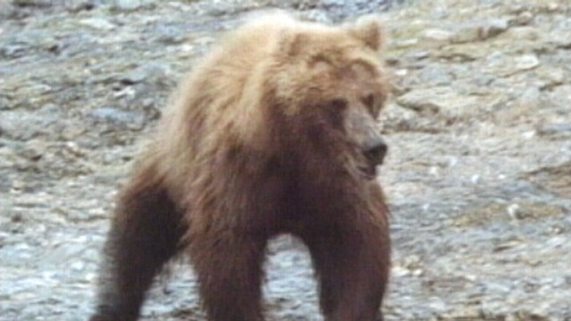 VIDEO: A 57-year-old man was hiking with his wife when fatally attacked by the bear.