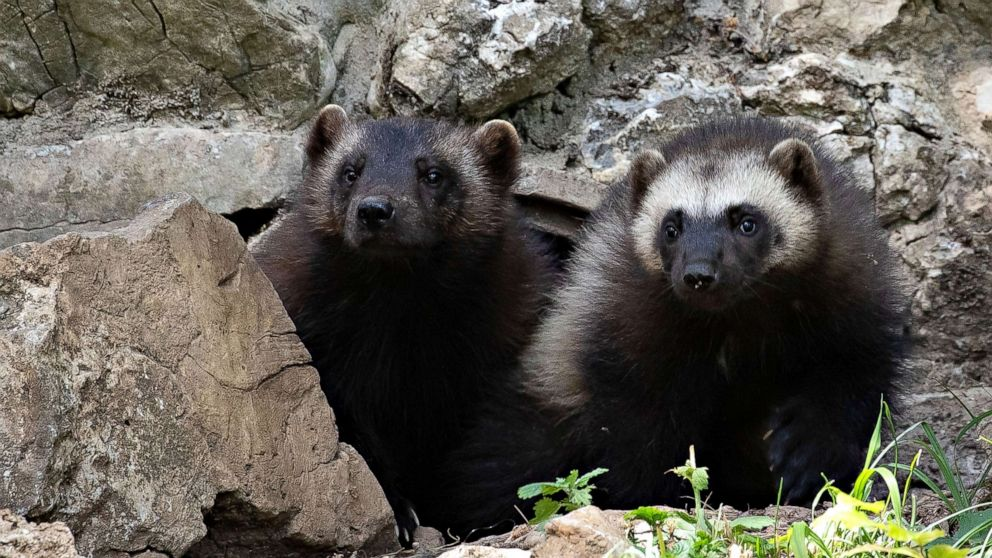Government refusal to protect wolverines sparks lawsuit from conservation groups