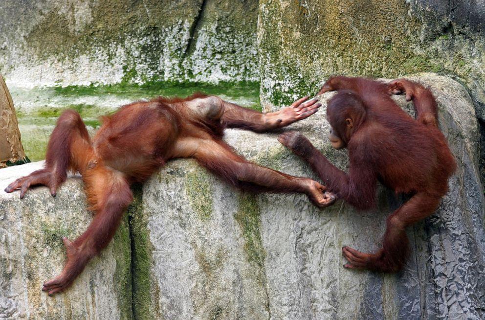 PHOTO: Orangutans play at Tampas Lowry Park Zoo.
