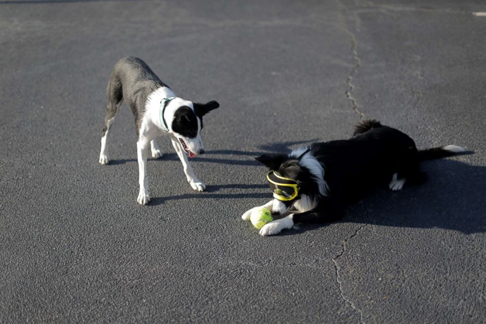 PHOTO: Border collie siblings, Bett and Greg, take a break from chasing geese to play together.
