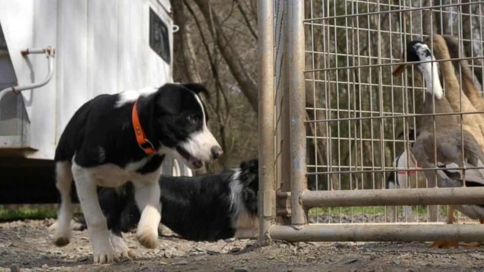 PHOTO: Rebecca Gibson trains 12-week-old border collie puppies by getting them excited about ducks.