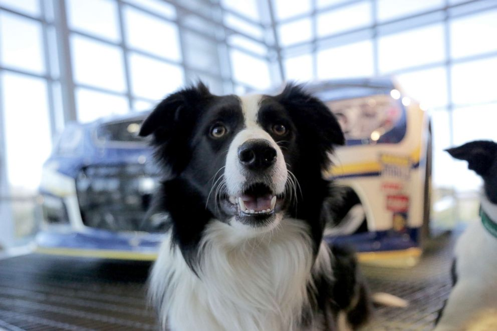 PHOTO: Greg is a 2-year-old, trained border collie who works to scare away geese and other nuisance wildlife.