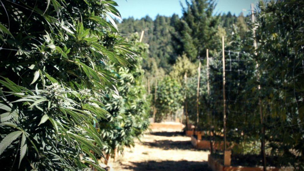 Marijuana plants in Northern California, October 2016.