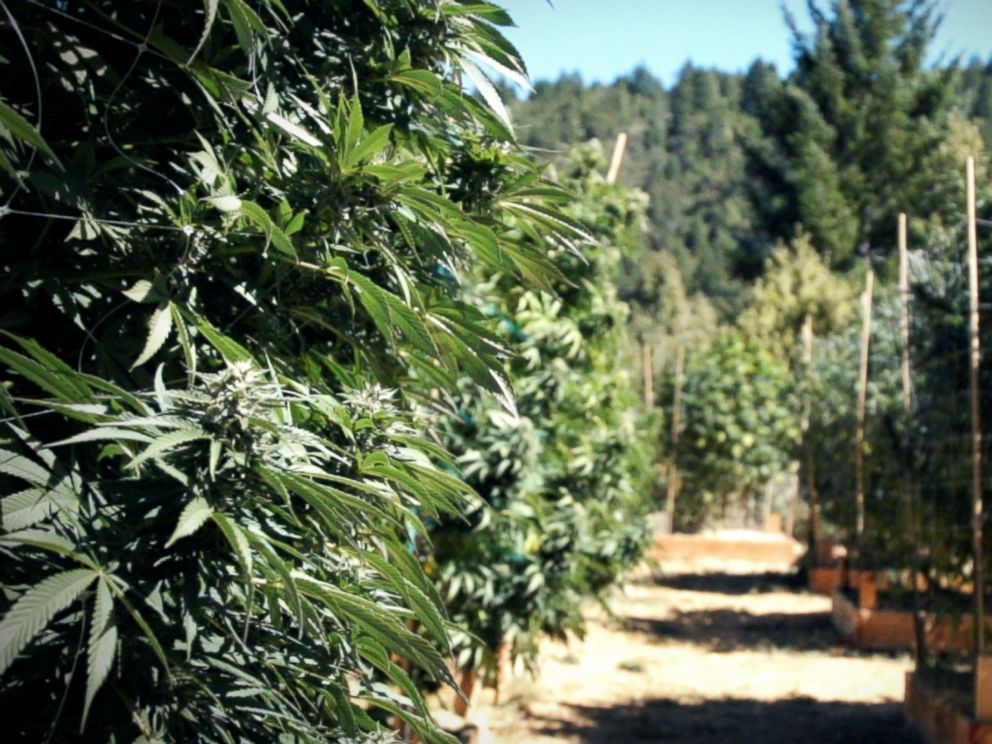 PHOTO: Marijuana plants in Northern California, October 2016.