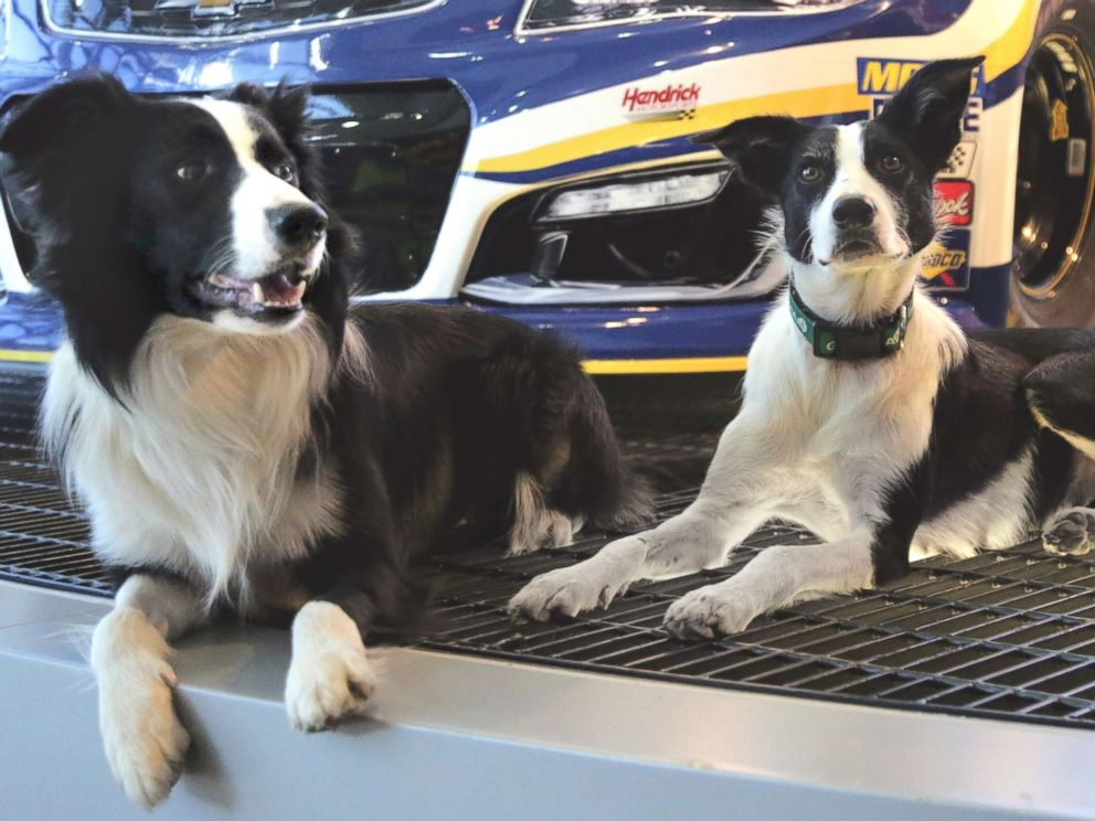 PHOTO: Trained border collies, Greg and Bett, lounge in front of a race car at Hendrick Motorsports, one of the businesses that has hired the dogs service.