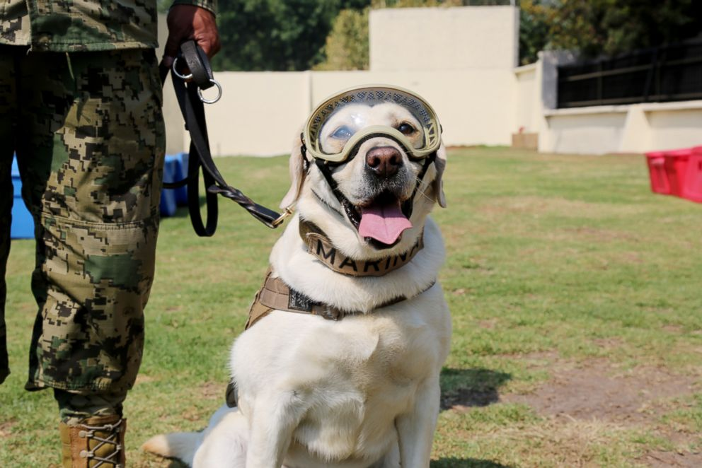 PHOTO: Frida is a search-and-rescue dog with the Mexican Navy who is praised as a national symbol for her work saving people.