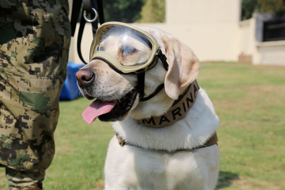 PHOTO: Frida, a 9-year-old labrador retriever, works as a search-and-rescue dog in the Mexican Navy Canine Unit.
