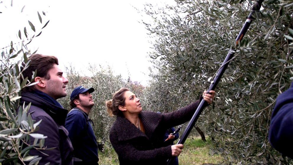 PHOTO: Ginger Zee helps harvest olive fruit on the Gonnelli family farm.