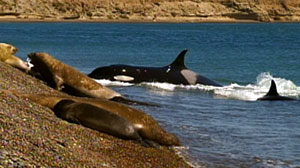 Killer whales, or orcas, are the top predators in the sea