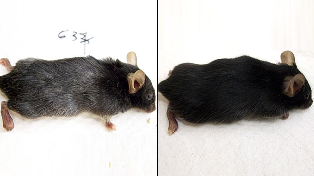 PHOTO: Scientist were able to take a mouses original color and turn it gray.