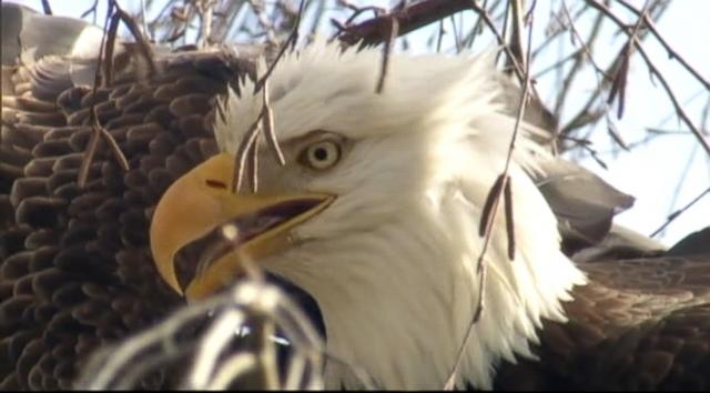 The life of an eagle bird
