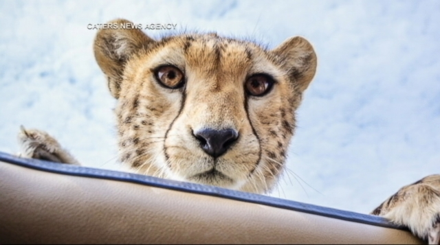 cheetah plays peek a boo during safari video abc news. Black Bedroom Furniture Sets. Home Design Ideas