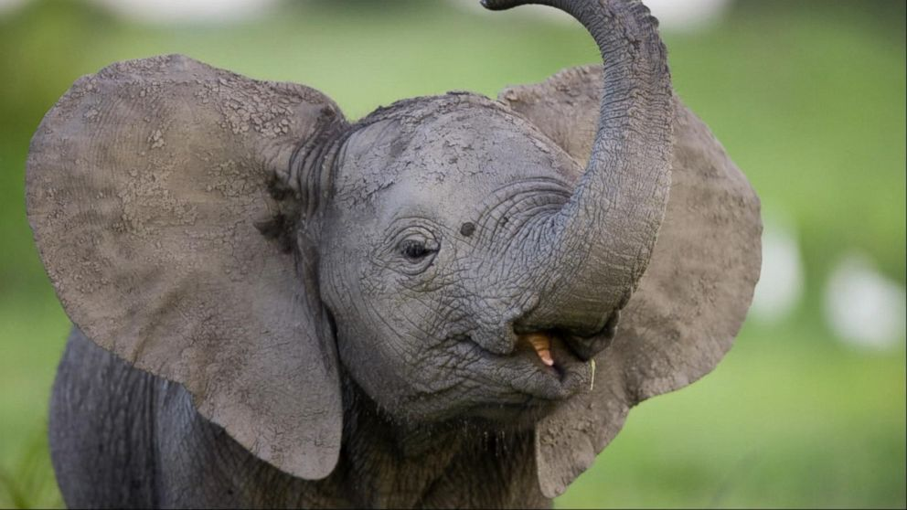b96bc00df Does hunting elephants help conserve the species  - ABC News