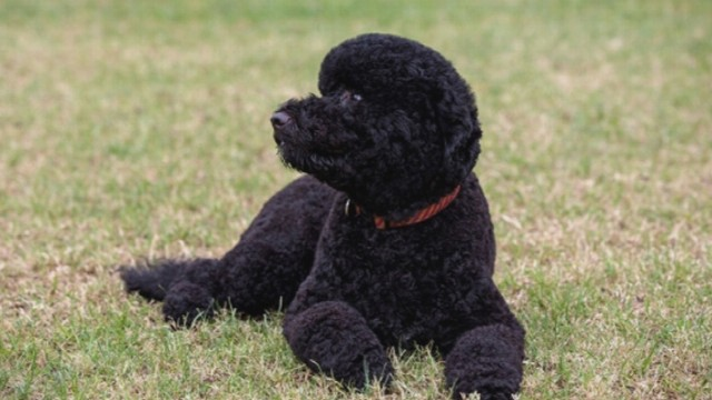 Meet Sunny, the Obamas' New Puppy