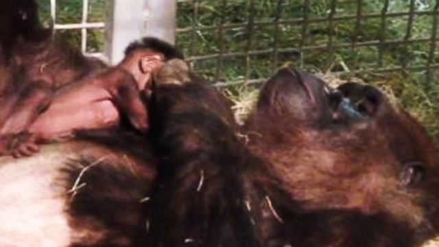 Watch: A Baby Gorilla Placed in Mom's Arms for the First Time