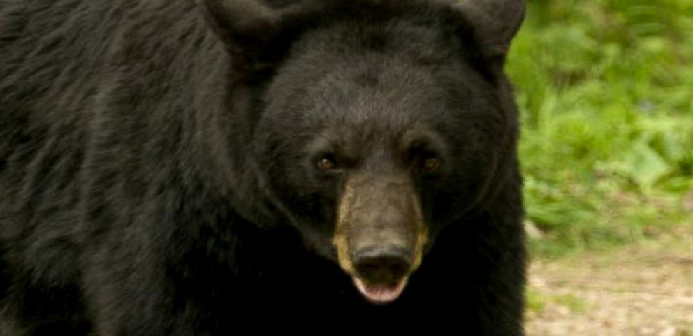 a discussion about a black bear attack To a large extent, the behavior of bears is still influenced by upbringing and biology polar bears are more likely to attack people as prey and are more aggressive than the american black bear, which is normally skittish around humans and relatively docile.