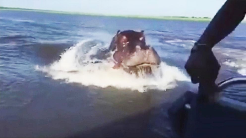 Scary Speedboat Chase When A Hippo Lunges Out Of The Water Video Abc News