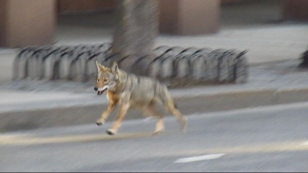 Wildlife Officials On High Alert For Coyote Attacks In