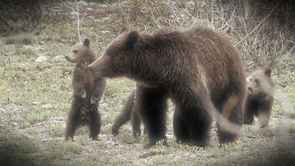 Dead Yellowstone Hiker Believed To Have Been Killed By Grizzly Video