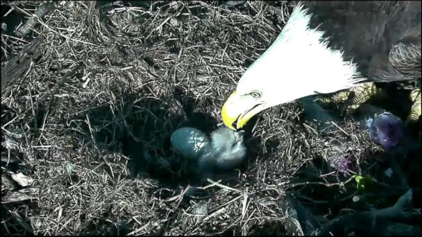 Majestic Bald Eagle Family Captured in Their Nest