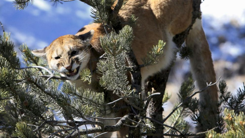 Mother Fights Off Mountain Lion Who Was Attacking Her Son -3804