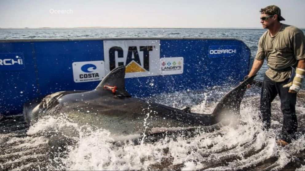Growing concerns over great white shark boom off Cape Cod - ABC News