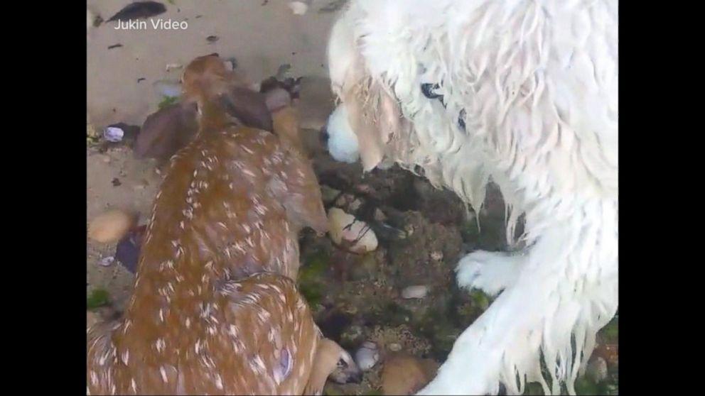 Hero dog saves fawn struggling to stay afloat in Long Island Sound