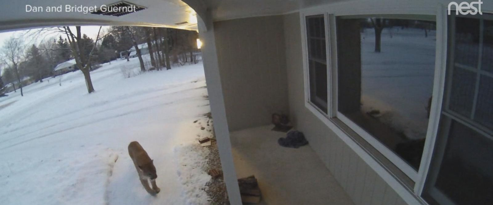 VIDEO: Home surveillance shows a cougar walking up to a couple's window in Wisconsin