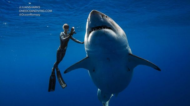 Conservationists swim with massive shark off Hawaii coast