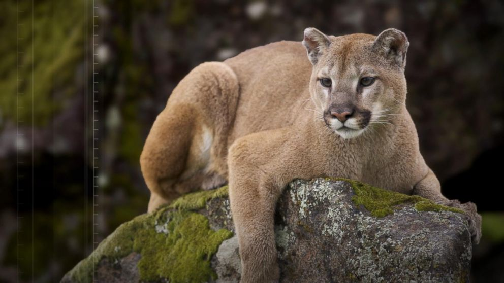 66f3a6e9c254 Jogger recovering after mountain lion attack in Colorado Video - ABC ...