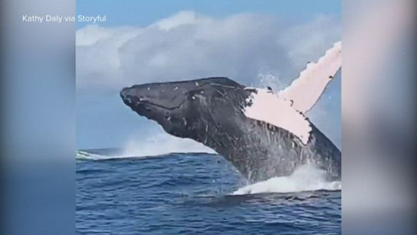 Close-up whale breach in Hawaii