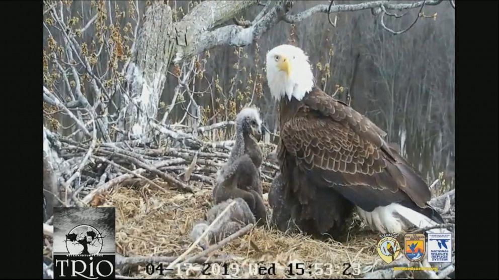 3 adult bald eagles watch over 3 eaglets in nest along