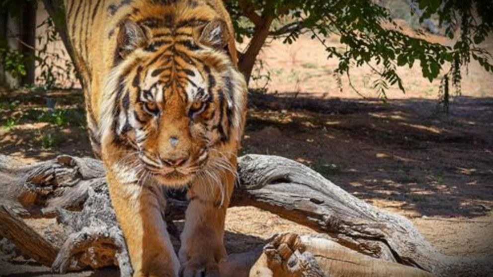 Tiger Attacks Arizona Animal Sanctuary Director Video Abc News