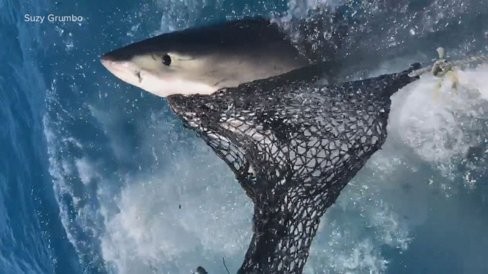Great white shark scare in Florida Keys