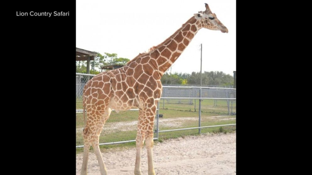 Pair of giraffes at Florida safari park are killed in lightning strike