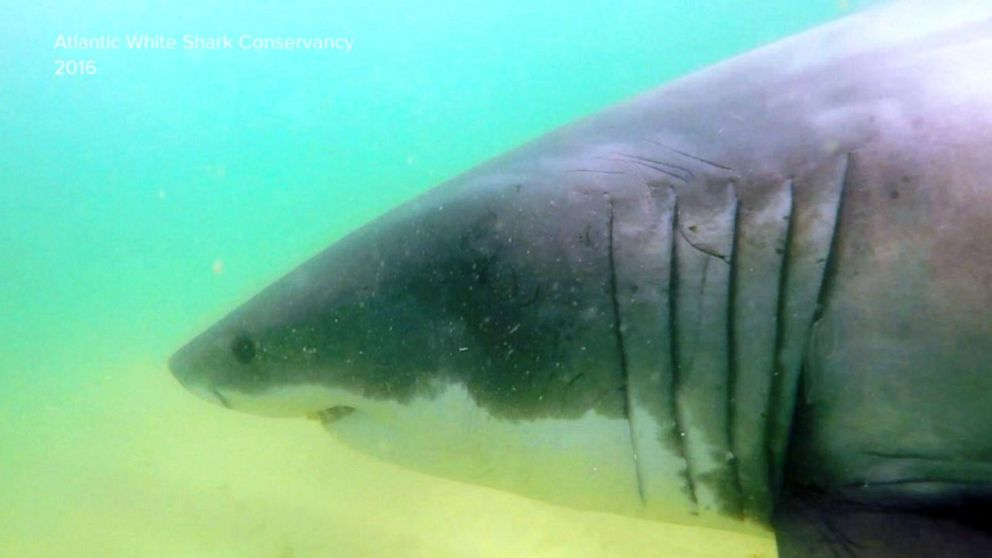 Reports of multiple sightings of great whites off Cape Cod, officials confirm