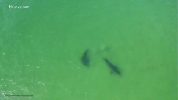 Drone video captures 2 sharks interacting near Chatham
