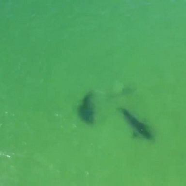 2 great white sharks seen off Cape Cod | GMA