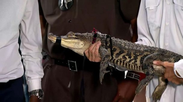 Elusive 'Chance the Snapper' alligator caught in Chicago park